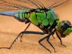 стрекоза, насекомое, макро