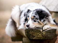 овчарка, australian, собака