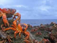 crab, rojo, catch