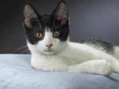 кот, бразильская, короткошёрстная