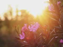 nerium, oleander, flowers