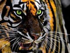 усы, тигр, живая природа