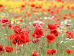 poppy, поле, цветы