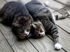 кошки, две