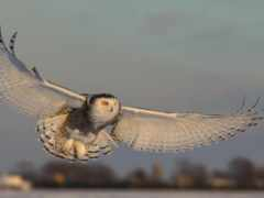 сова, крыло, hawk