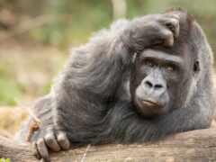 animal, oir, горилла