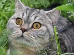 кот, красивый, пушистый