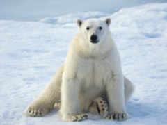 медведь, белый Фон № 96302 разрешение 1920x1080