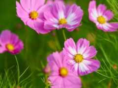 цветы, космеи, создать