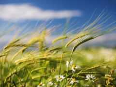 ветер, поле, summer