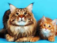 кошка, порода, уход