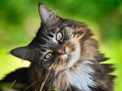 кот, породы, коты