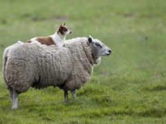 овец, овчарка, которые