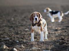 собаки, beagle, щенок