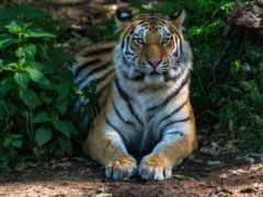 ipad, тигр, мини