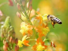 макро, пчелка, качество