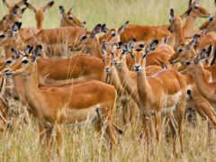 animales, manada, kenia