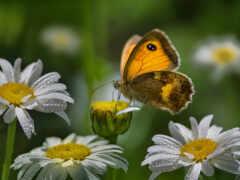 анимация, бабочка, ромашка