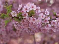 весна, cherry, цветы