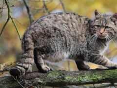 лес, кот, кавказ