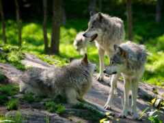 волк, овцы, oir