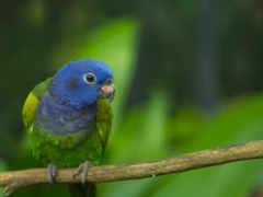попугай, зелёный, ветке