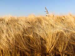пшеница, серьги, урожай