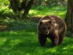 медведь, трава, дерево