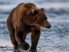 kosolapyi, grizzly, funart