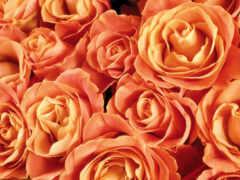 роза, чайная, oir