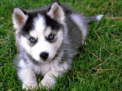 хаски, собака, щенок Фон № 139681 разрешение 2560x1600
