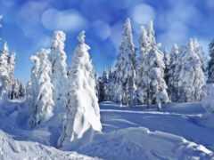 winter, елки, снег
