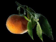 оранжевый, фрукты, mandarin