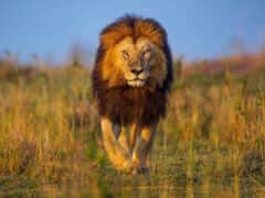 left, teenager, lion