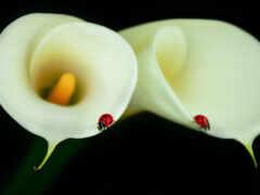 цветы, funart, коровка