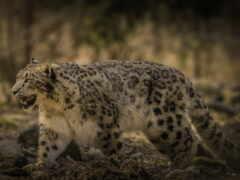 ирбис, леопард, википедия