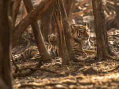 тигр, лес, stoloboi