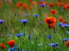 цветы, poppy, василек