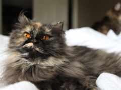 кот, пушистый, black