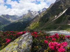 гора, цветы, кавказ