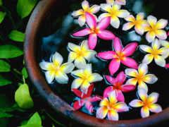 cvety, плюмерия, fonds