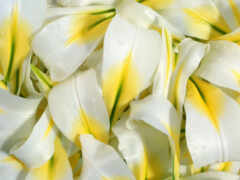 lily, цветы