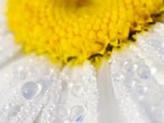ромашка, цветы, лепестки