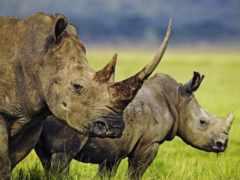носороги, носорога, носорог