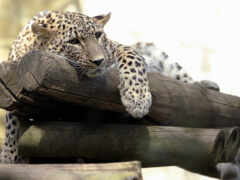 леопард, планшета, леопарды