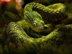 atheris, африканский, змея