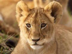 lion, leão, parede