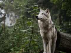 волк, лес, собака