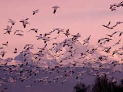snow, geese