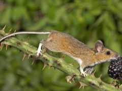 mouse, лесная, животных